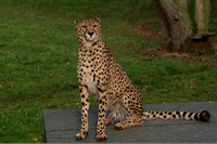 Cheetah sitting