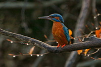 Kingfisher - looking left