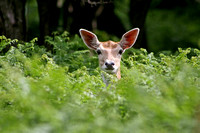 Fallow Deer popping out ferns