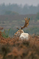 White Fallow Deer - back view