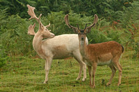 White and a Tan Fallow Deer