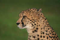 Cheetah side face