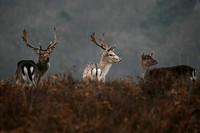 Fallow Deer 3 colours together