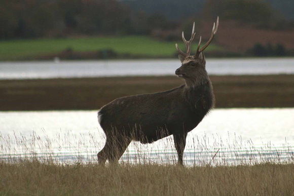 Sika stag on the marshes