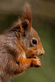 RED SQUIRRELS & GREY SQUIRRELS